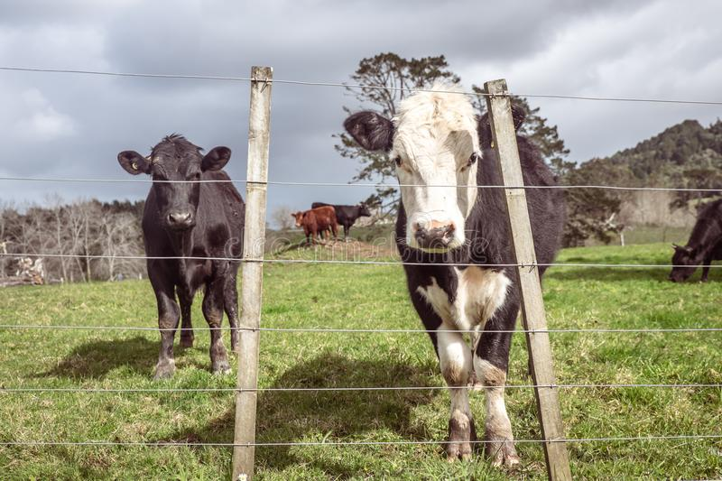 Beef industry: bull calves in field on farm in North Island, New. Beef industry: bull calves grazing in field on farm in North Island, New Zealand, NZ royalty free stock photos