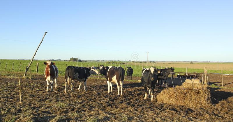 Beef industry in rural Latin America. The beef cattle industry is one of the most important activities in Latin American countries such as Argentina, Brazil stock photography