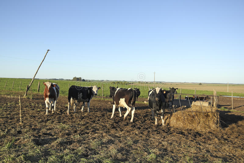 Beef industry in rural Latin America. The beef cattle industry is one of the most important activities in Latin American countries such as Argentina, Brazil stock image