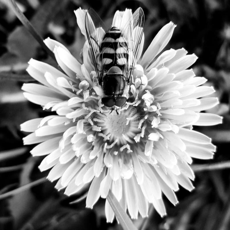 Beeflower fotos de archivo