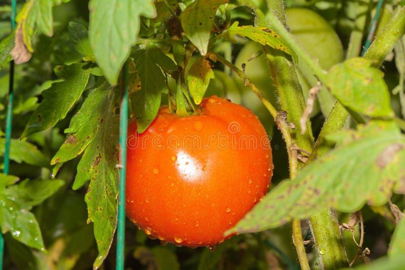 Download BeefSteak Tomatoe stock photo. Image of ripen, closeup - 20978004