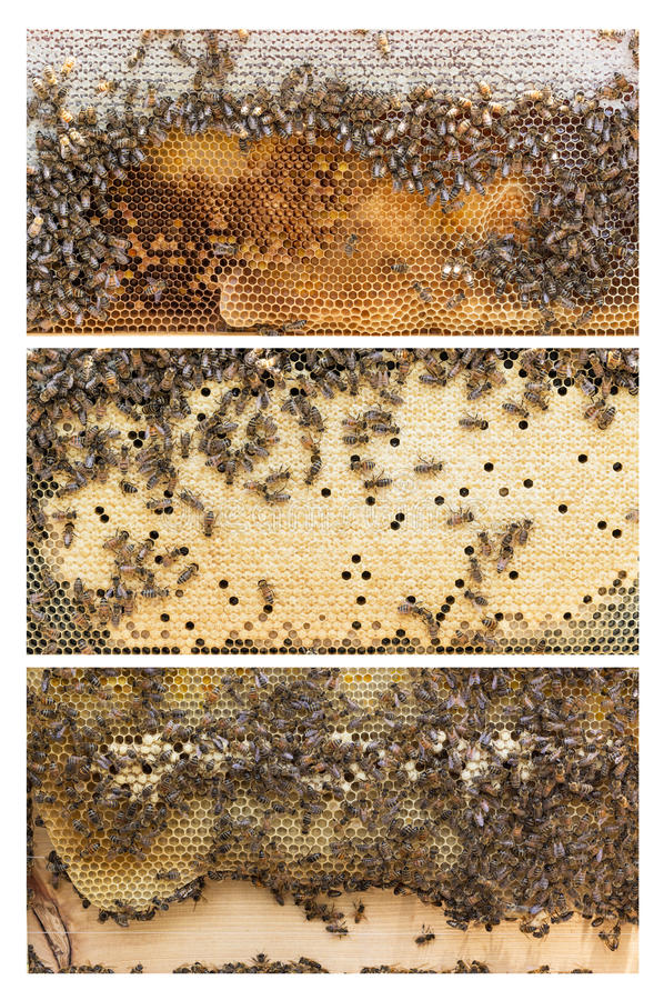 Beehive frames of honey bees stock image