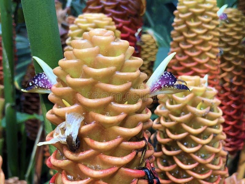 Beehive ginger Zingiber spectable, Ginger wort, Malaysian ginger oder Bienstock-Ingwer royaltyfri bild