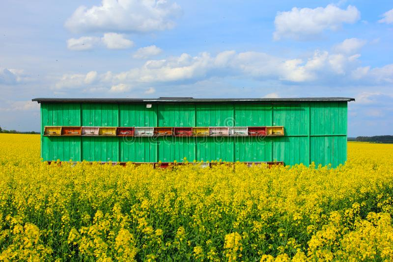 Beehive in truch on the field of colza royalty free stock photo