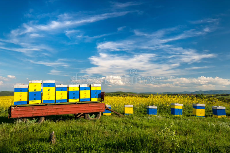 Beehives at flowering field of colza royalty free stock photography