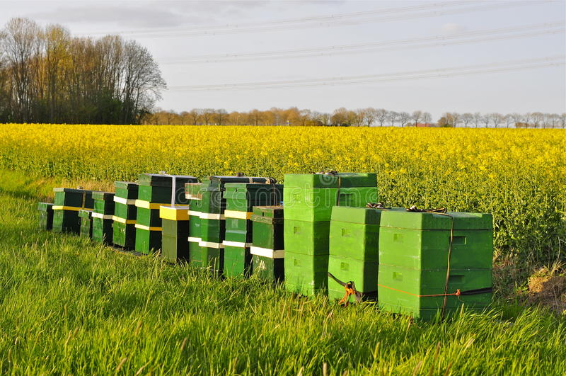 Beehives next to a Field of Rapeseed stock photos