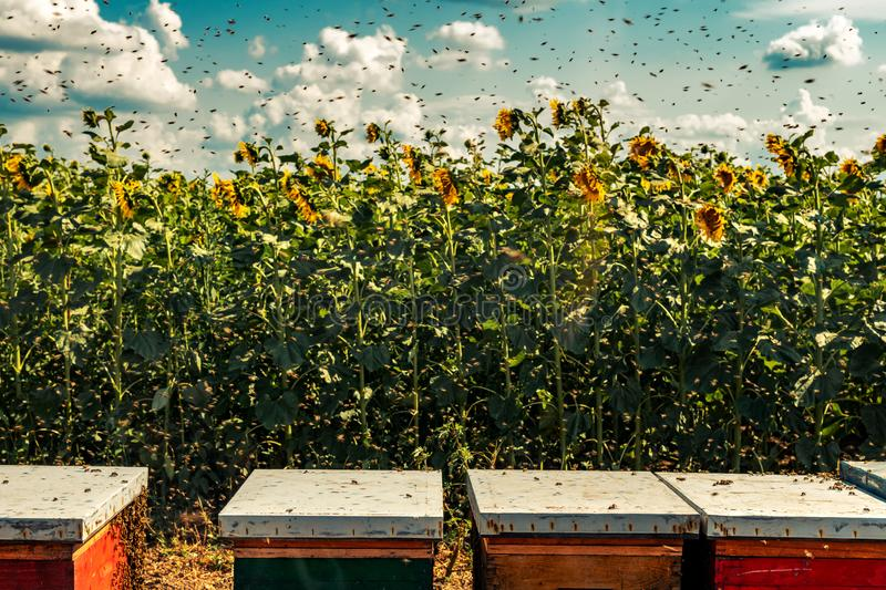 Beehives in sunflower field with many bees flying around royalty free stock images