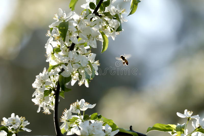 BeeInFlight. Wisconsin Flower Garden in the Spring stock photography