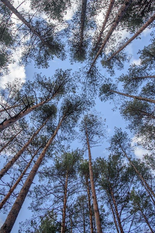 Beeinflussende Oberteile bloße Bäume im Wald gegen blauen Himmel lizenzfreies stockbild