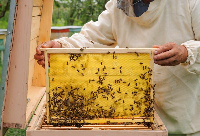 Beekeeper держа рамку сота с пчелами стоковые изображения