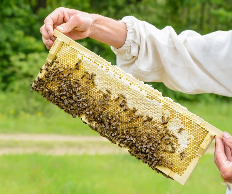 Beekeeper принимает вне от сота крапивницы заполненного с свежим медом Apiculture стоковое изображение rf