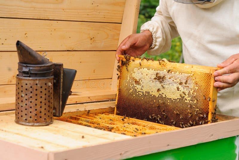 Beekeeper принимает вне от сота крапивницы заполненного с свежим медом стоковые изображения rf