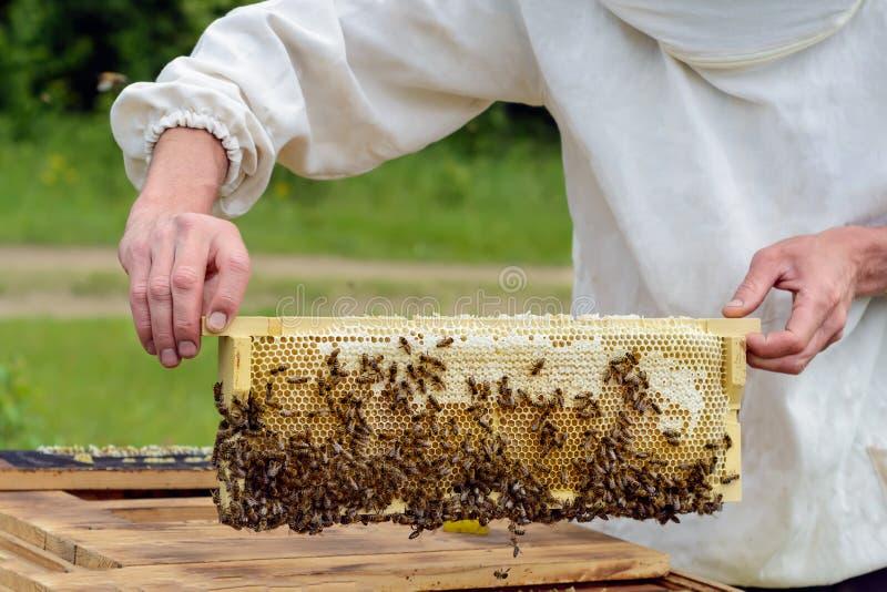 Beekeeper принимает вне от сота крапивницы заполненного с свежим медом Apiculture стоковое фото rf
