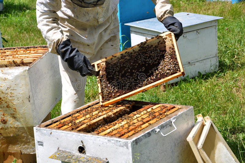 Beekeeper принимает рамку от hive_2 стоковая фотография