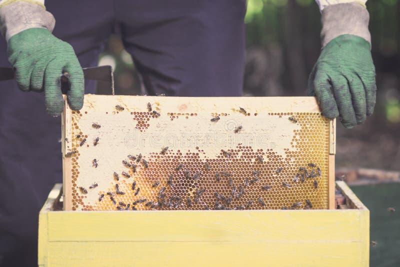Beekeeper принимает рамку с сотами и медом пчелы стоковое изображение