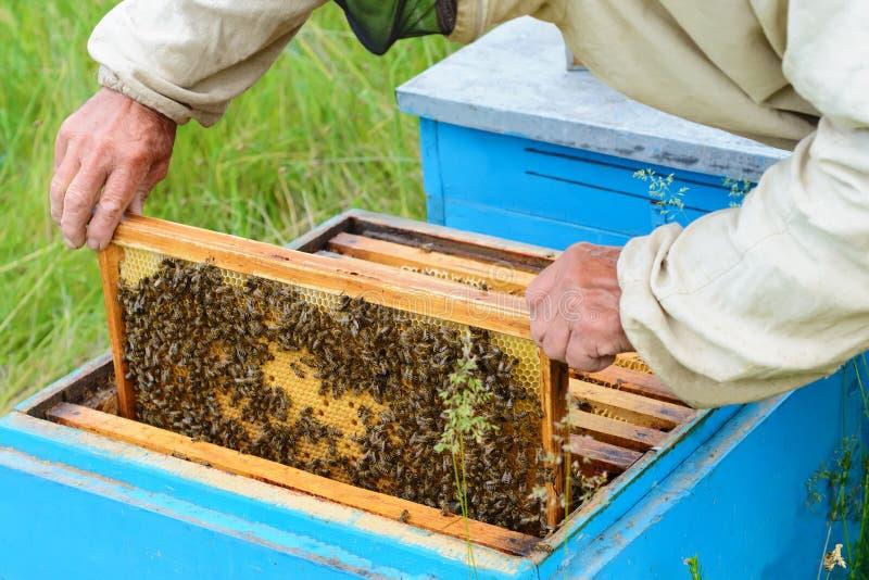 Beekeeper рассматривает сот с личинками пчелы крапивница стоковая фотография rf