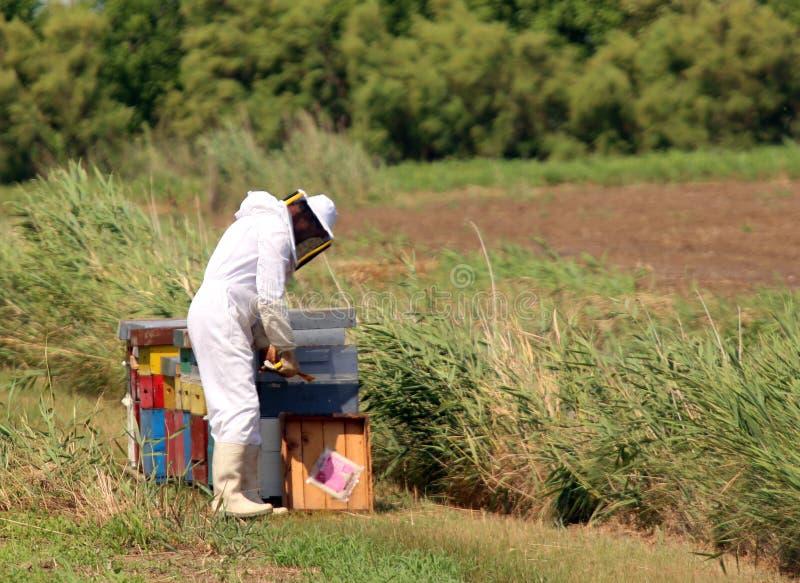 Beekeeper с белым защитным костюмом пока собирающ мед стоковые фотографии rf