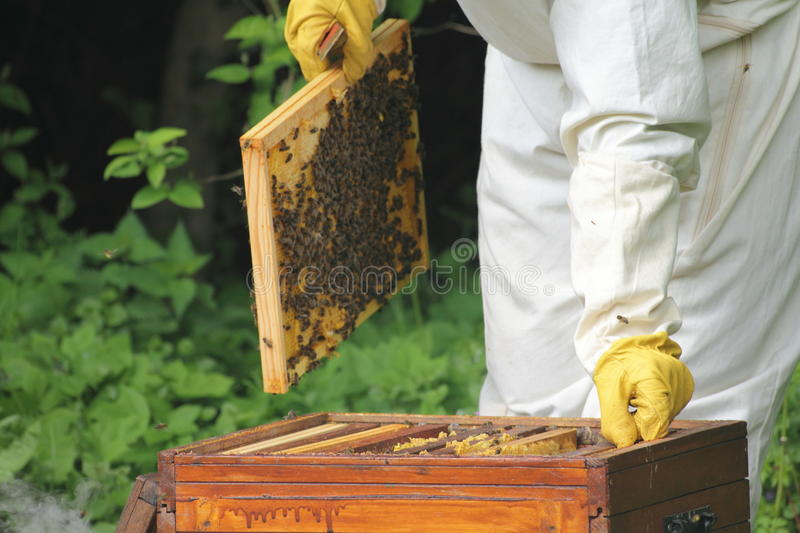 Beekeeper with bees royalty free stock photography