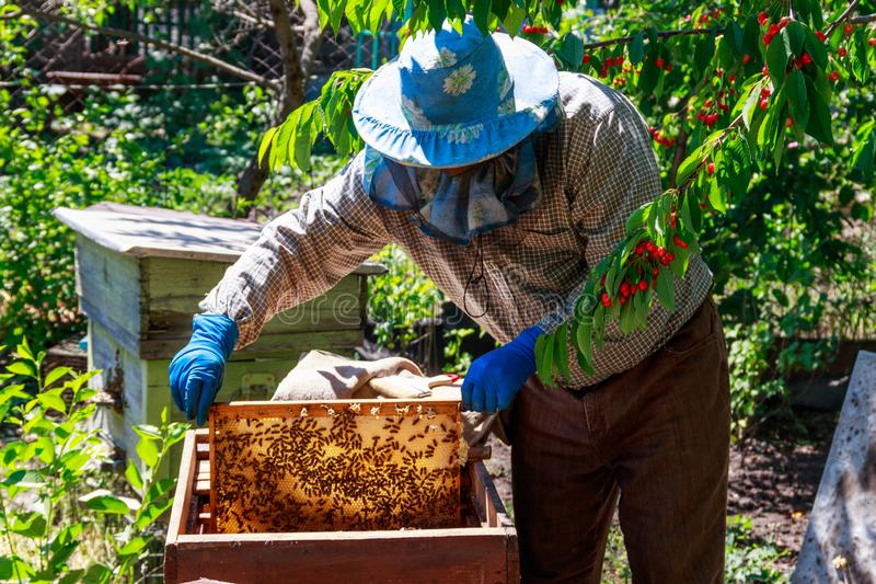 Beekeeper checking a beehive to ensure health of the bee colony or collecting honey royalty free stock photos