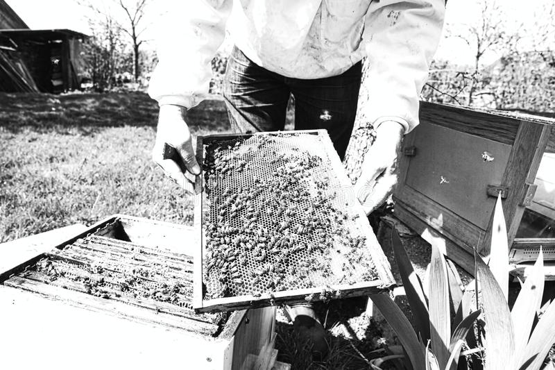 Beekeeper hands holding a honeycomb full of bees in protective workwear inspecting honeycomb frame at apiary stock photos