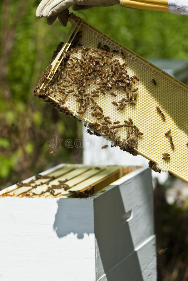 The Beekeeper and His Masterpiece stock photography