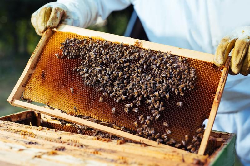Beekeeper holding frame of honeycomb with bees. The Beekeeper holding frame of honeycomb with bees royalty free stock images