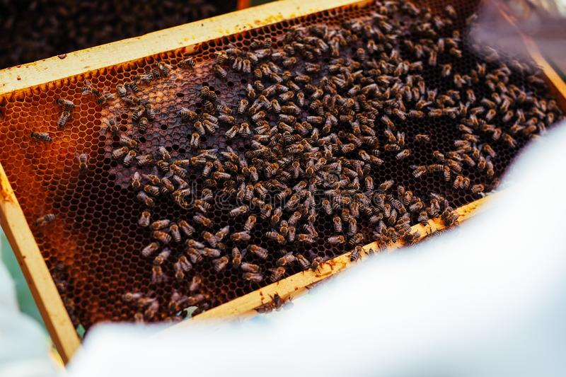 Beekeeper holding frame of honeycomb with bees. The Beekeeper holding frame of honeycomb with bees stock image