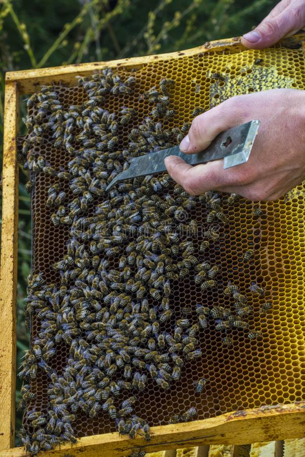 The beekeeper holds a honey cell with bees in his hands. Apiculture. Apiary royalty free stock photo