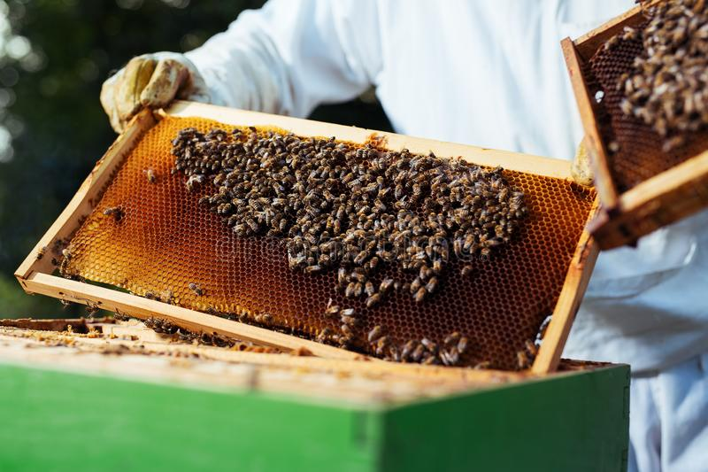 The beekeeper holds a honey cell with bees in his hands. Young  beekeeper holds a honey cell with bees in his hands stock images