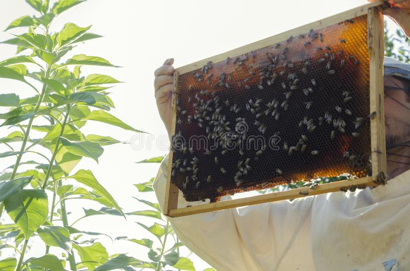 Beekeeper, honeycomb and honey bees on it.Bee colony in hives. Beekeeper wearing proective clothes and using bee smoking to calm honey bees.Beekeeping in the royalty free stock image