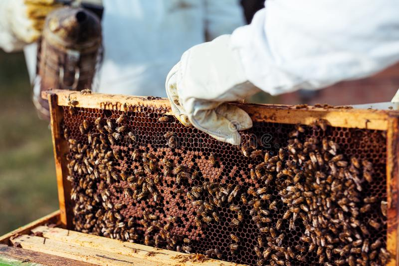Beekeeper inspecting honeycomb frame at apiary. stock photography