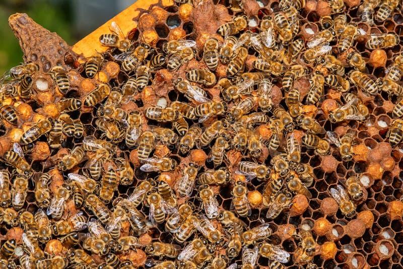 Beekeeper p? arbete Biv?rdarelyftande hylla ut ur bikupan Beekeeperen sparar bina arkivbild