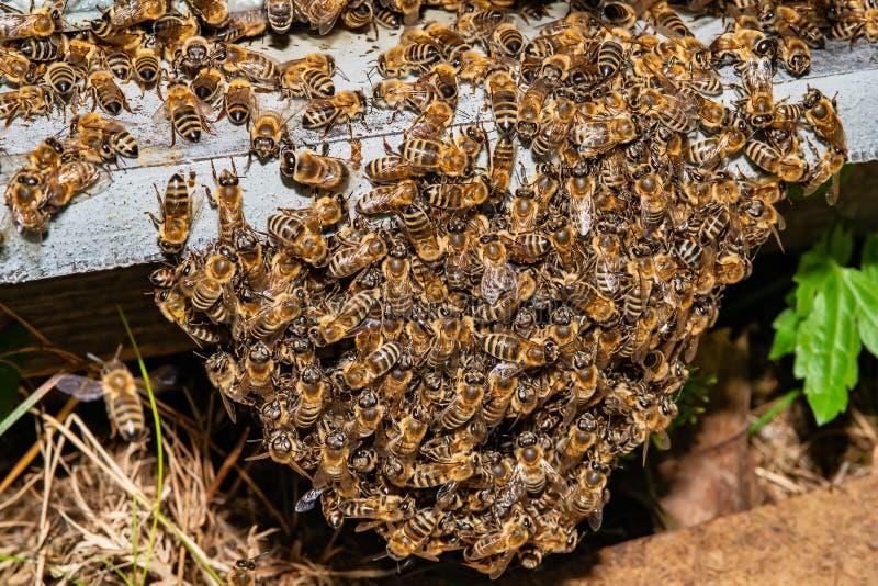 Beekeeper p? arbete Biv?rdarelyftande hylla ut ur bikupan Beekeeperen sparar bina royaltyfria foton