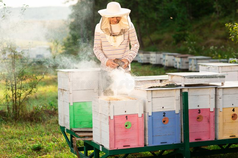 A beekeeper smokes bees in the process of collecting honey in wooden colored beehives. Beekeeping tool.  royalty free stock photos