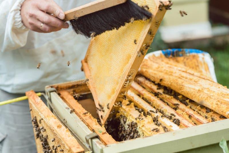 Beekeeper som borstar bin från honungskakan fotografering för bildbyråer
