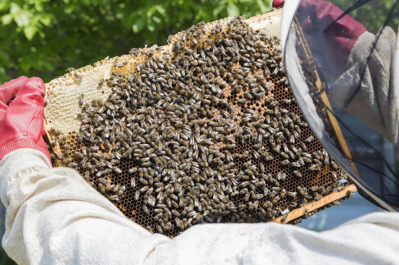 Beekeeper is taking out the honeycomb on wooden frame to control situation in bee colony. Beekeeper is taking out the honeycomb on wooden frame to control royalty free stock image