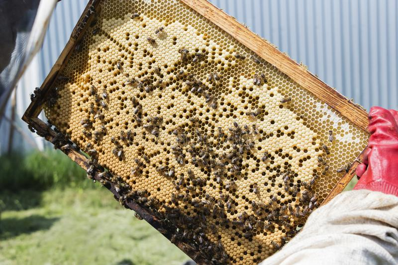Beekeeper is taking out the honeycomb on wooden frame to control situation in bee colony. Beekeeper is taking out the honeycomb on wooden frame to control royalty free stock photo