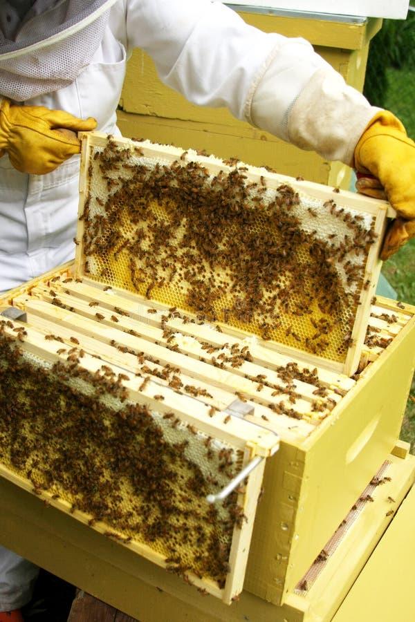 Beekeeper tending hive royalty free stock images