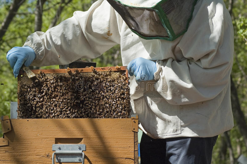 Beekeeper at work. Beekeeper checking frame in the hive royalty free stock image