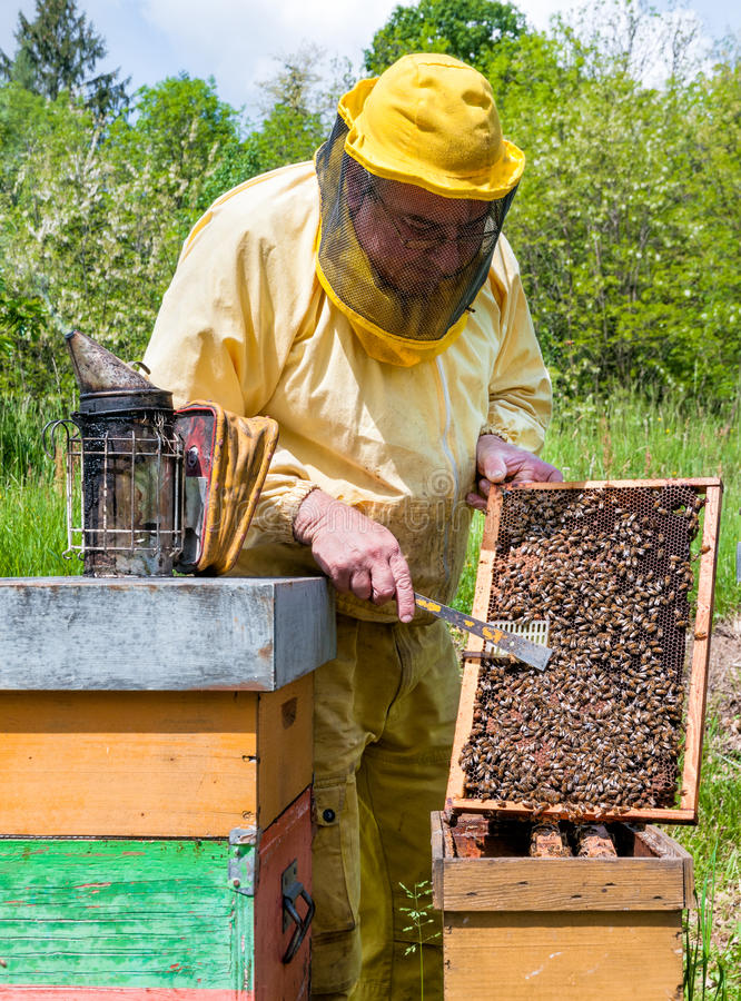 Beekeeper is working with bees and beehives on the apiary. Beekeeping concept stock photography