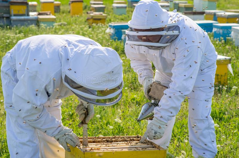 Beekeeper at work during spring time protected by costume royalty free stock photography