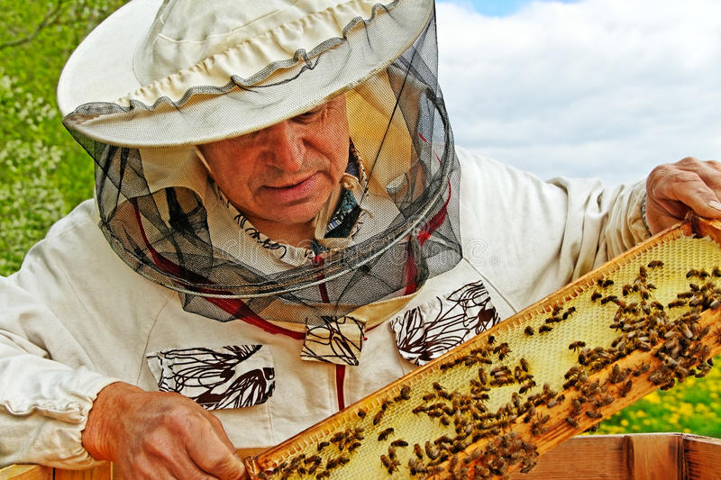 Beekeeper is working. Beekeeper is holding a frame of honeycomb royalty free stock image