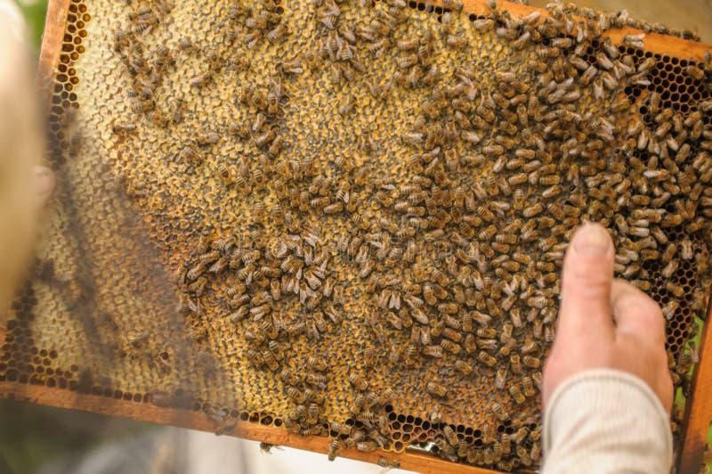 Beekeeperen samlar honung från en bikupa, i som många bin royaltyfri fotografi