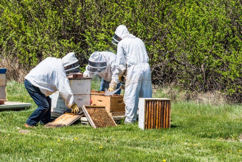 3 beekeepers проверяя подносы выводка от улья стоковое изображение
