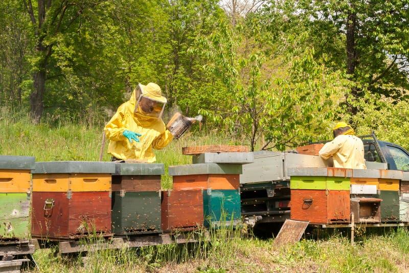 Beekeepers работают с пчелами и ульями на пасеке стоковые фотографии rf