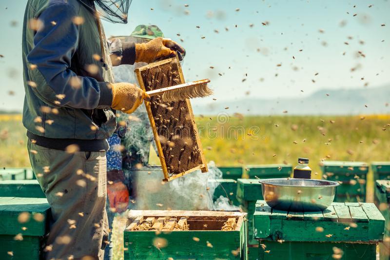 Beekeepers собирают мед стоковое изображение rf