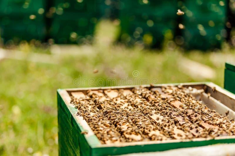 Beekeepers собирают мед стоковое фото rf