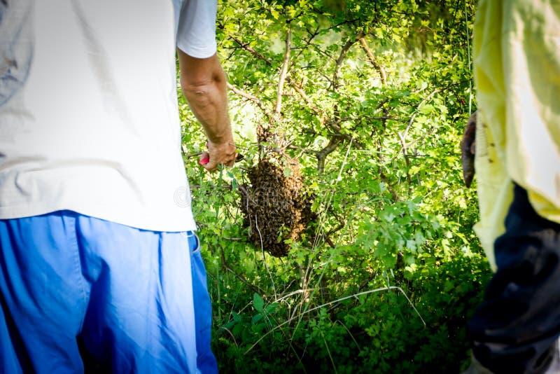 Beekeepers is verwijdert zwerm van bijen in bijlage op de boom royalty-vrije stock foto