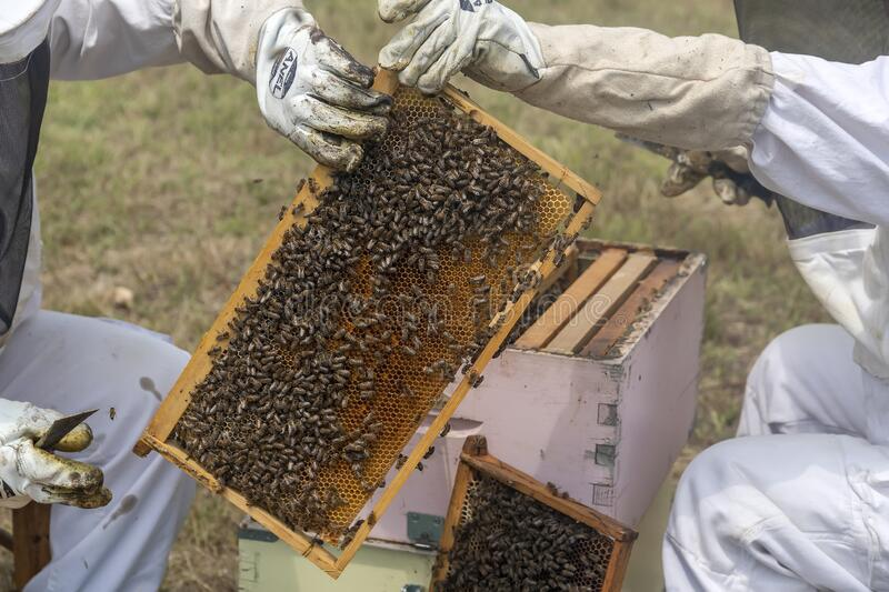 Beekeepers working to collect honey stock images