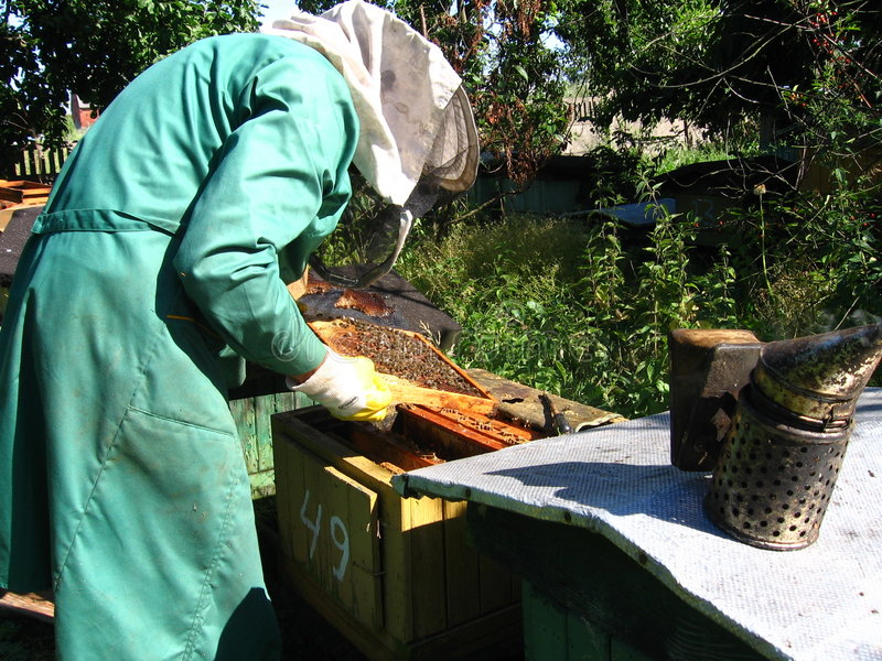 Beekeeping. A beekeeper at work on his hive stock image